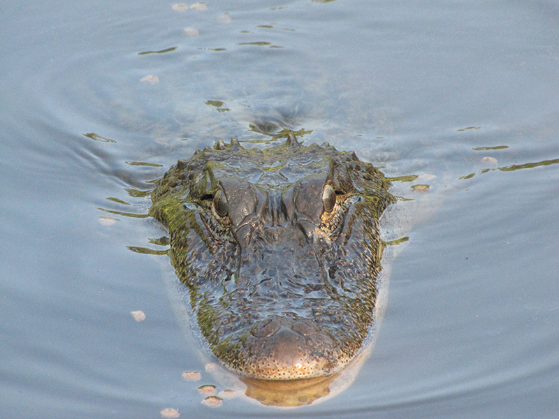 alligator animal nature02